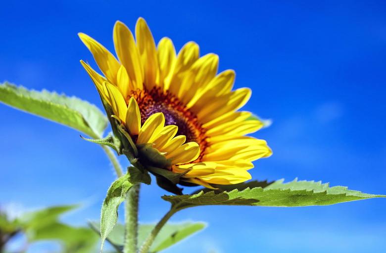 ひまわりの咲く時期に暑中見舞い